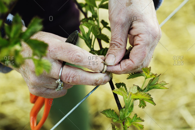 A woman tying in shoots of a plant with string.