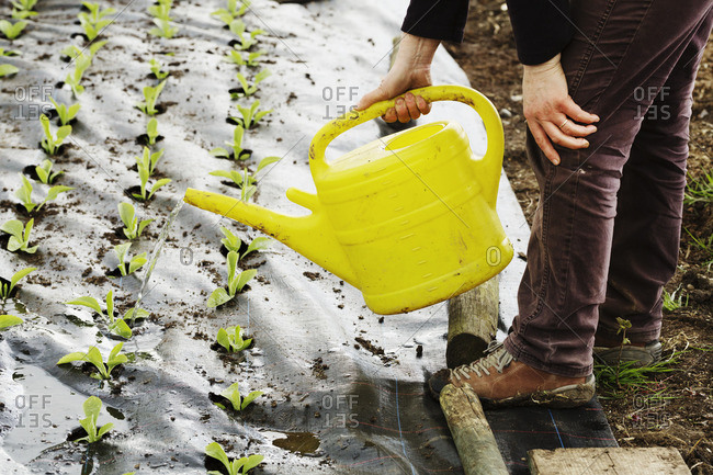 A person using a watering can to water seedlings planted in soil covered in fleece.