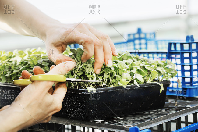 A woman cutting salad leaves and fresh vegetable garden produce with scissors.