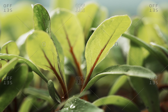 Close up of micro leaves, salad plants growing in a vegetable garden.