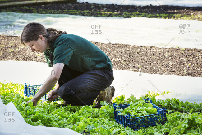 A woman cutting salad leaves from a crop planted in the ground and protected by fleece.