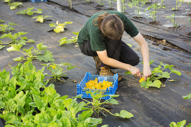 A woman bending to pick bright yellow courgette flowers from plants for the kitchen.