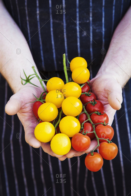 A chef in a striped apron holding fresh produce, red and yellow skinned vine tomatoes.