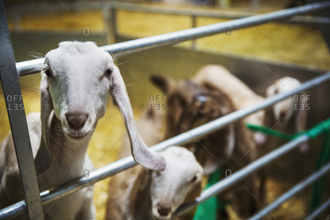 Small herd of goats in a stable, looking at camera.
