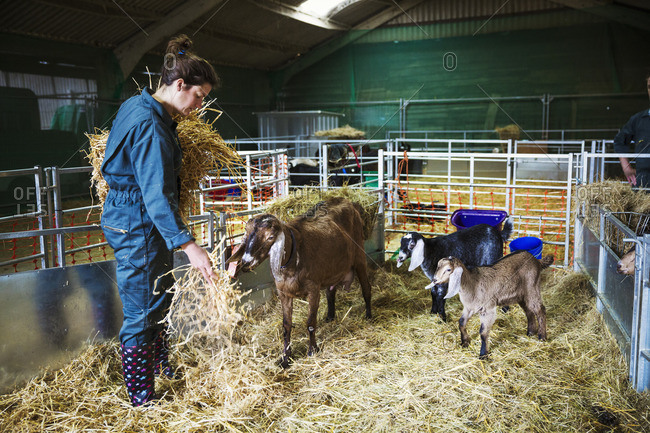 Woman in a stable with goats, scattering straw on the floor.