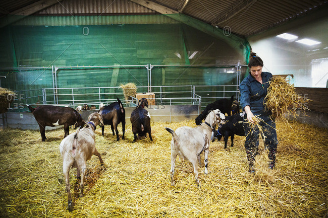 Woman in a stable with a small herd of goats, scattering straw on the floor.