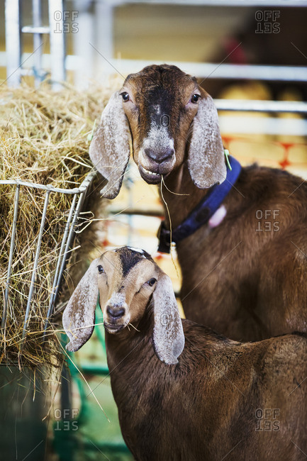 Two goats in a stable, looking at the camera.