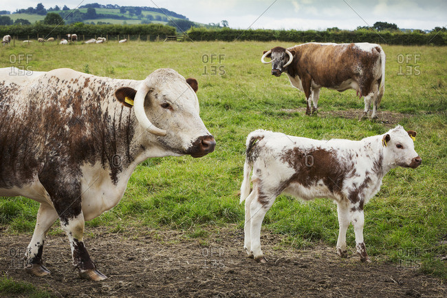 English Longhorn cattle with calf in a pasture
