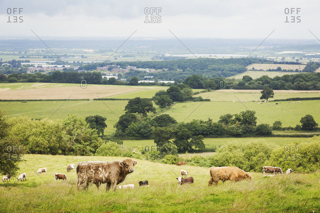 Herd of English Longhorn and Highland cattle in a pasture.
