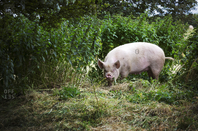A free range environment for animals, a pig foraging in a pasture