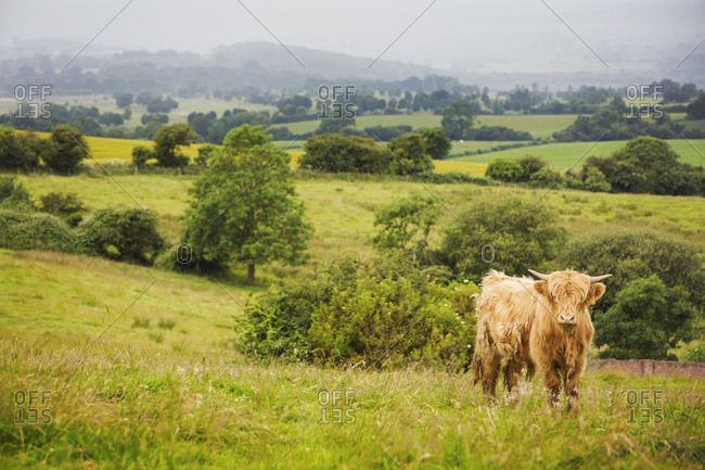 Brown Highland cow in a field. Long brown shaggy coat and horns