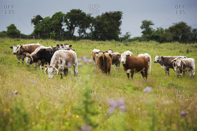 Herd of English Longhorn cattle in a pasture.