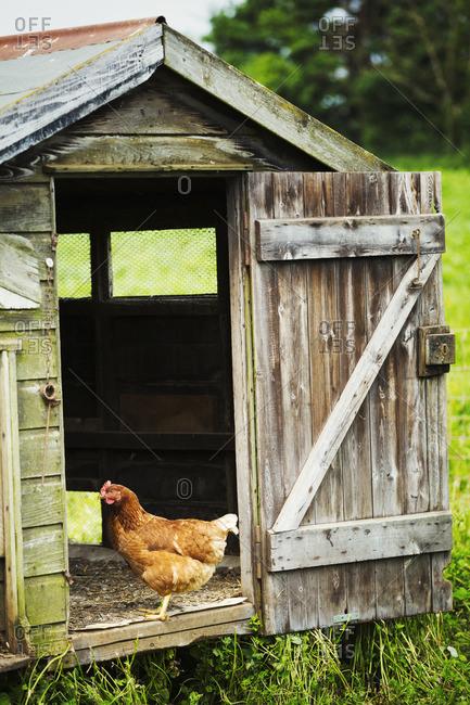 A chicken standing in the door of a coop.