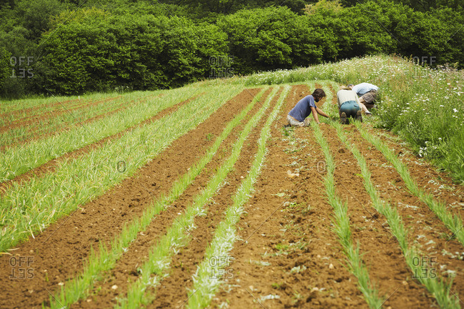 Three men tending rows of small plants in a field.