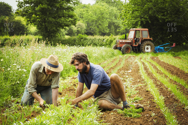 Two men tending rows of small plants in a field.