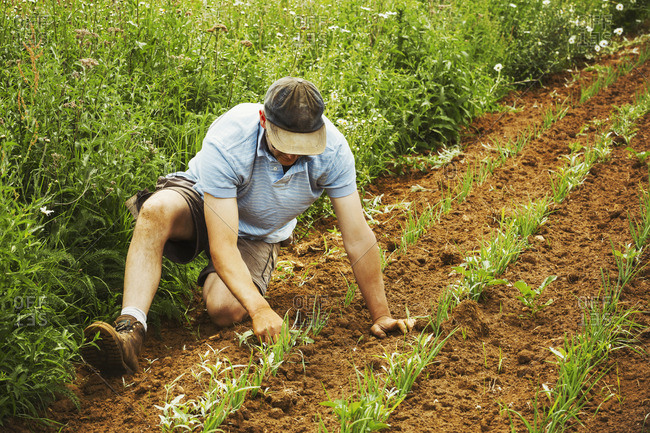 One man tending a row of small plants in a field.