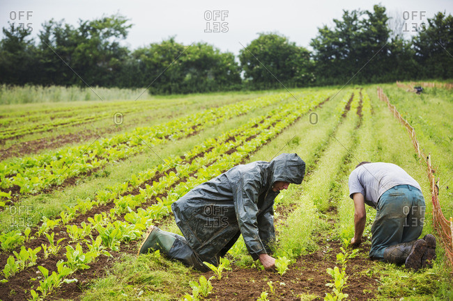 Two men kneeling in a field tending to small plants in rows.