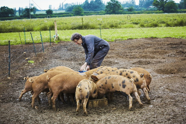 A woman filling a feeding trough for a group of pigs in a muddy field.