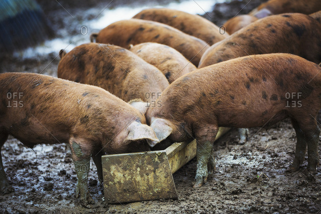 A group of pigs eating from a trough.