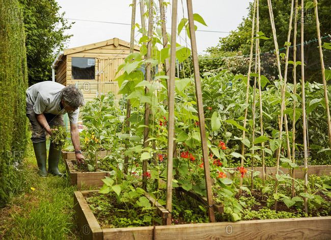 A man working in his garden, weeding raised beds. Garden shed.