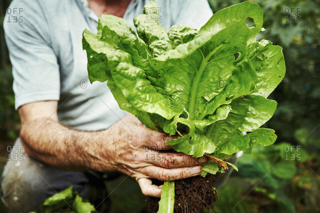 A gardener holding up a freshly picked lettuce.