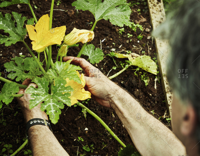 A gardener working in a vegetable plot, bending to pick courgettes with yellow flowers.