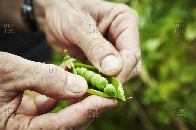 A gardener holding and prising open a pea pod to show fresh green peas.