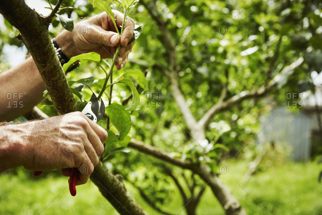 A gardener pruning fruit trees with secateurs.