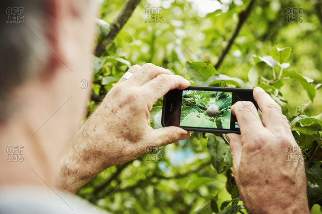 A gardener working in a vegetable plot in a back garden. Taking a photograph with a smart phone of an apple on a tree.