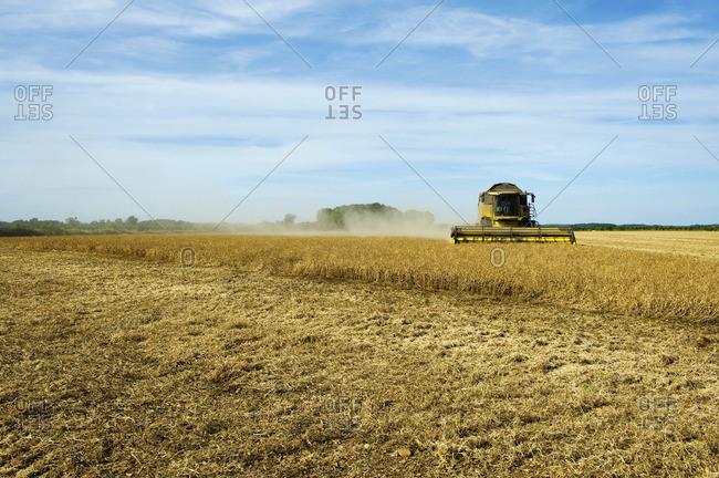 A combine harvester in a field, cutting a field of corn.