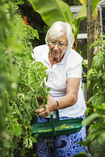 A woman picking pea pods from a green pea plant in a garden.