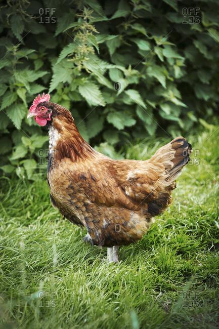 A brown free range chicken in a garden.