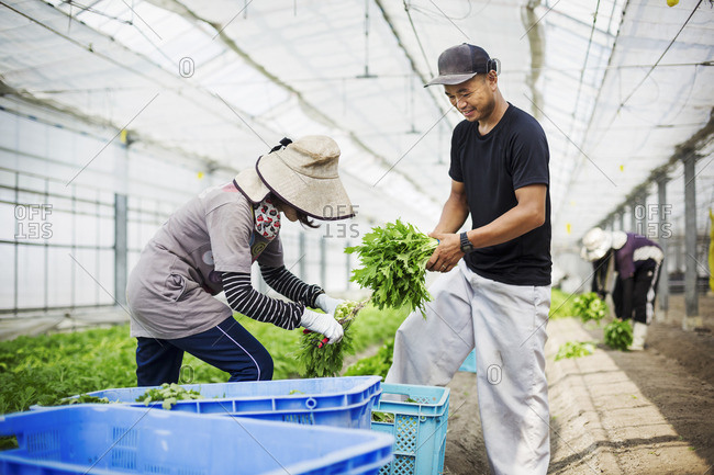 Two people working in a greenhouse harvesting a commercial food crop, the mizuna vegetable plant.