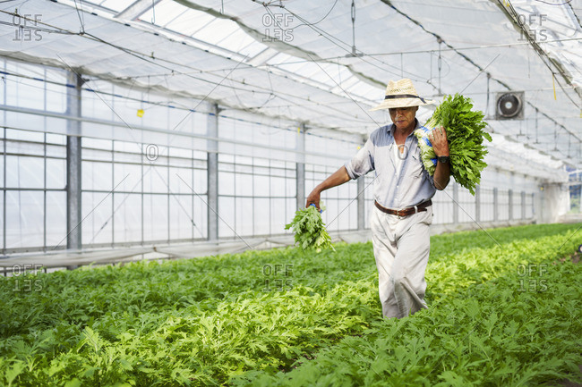 A man working in a greenhouse harvesting a commercial food crop, the mizuna vegetable plant.