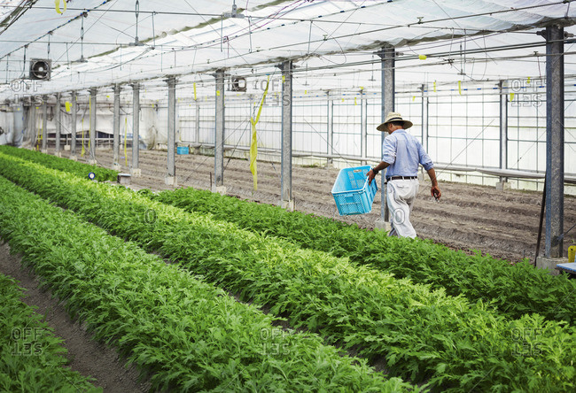 A man in a hat working in a greenhouse harvesting a commercial crop, the mizuna vegetable plant.
