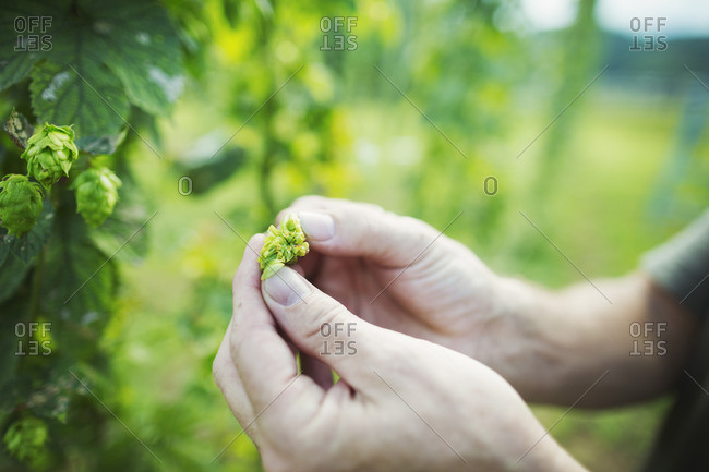 Man standing outdoors, picking hops from a tall flowering vine with green leaves and cone shaped flowers, for flavoring beer.