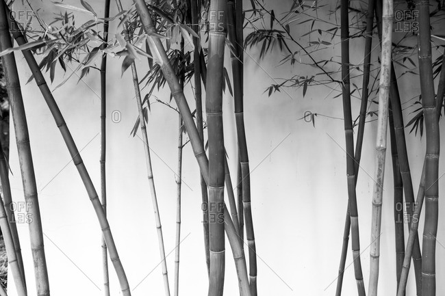 Bamboo in black and white