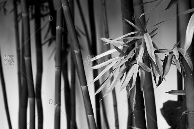 Bamboo trees in black and white