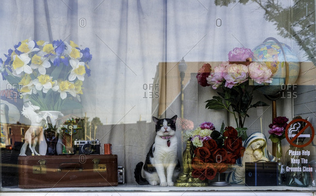 Yankton, South Dakota, USA - July 8, 2016: Cat sitting in display window of shop surrounded by vintage items