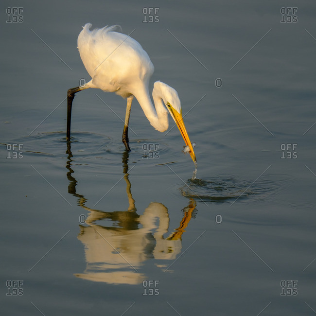 Great White Egret at Ras al Khor wildlife refuge