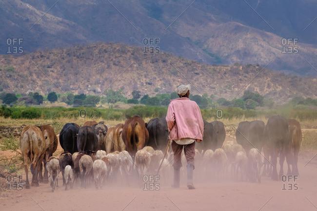 Farmer herding cows in Tanzania