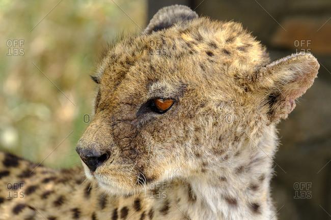 Young Cheetah looking away in Serengeti National Park