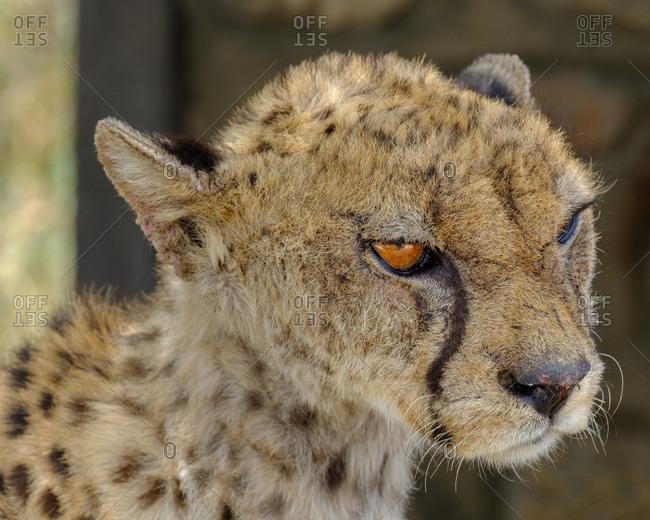 Young Cheetah in Serengeti National Park