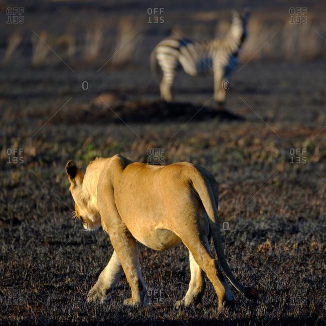Lion walking in Serengeti National Park