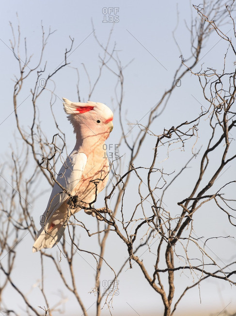 Cockatoo perched on a branch in outback Australia