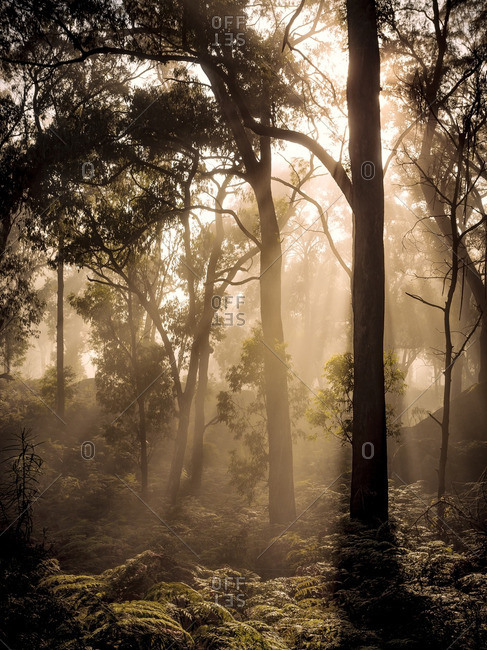 Misty morning in Victorian forest with light rays on forest floor