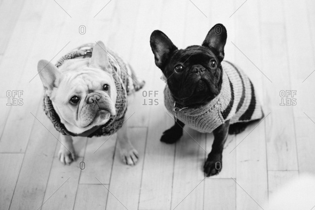 Portrait of two French bulldogs in sweaters