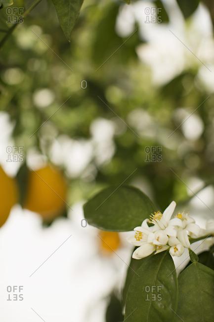 Orange blossoms on a tree