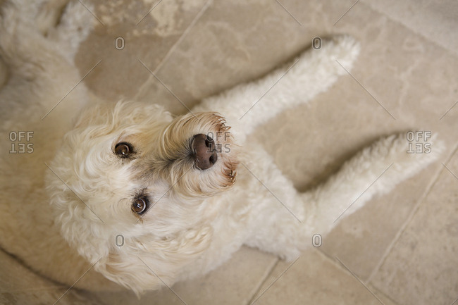 White dog on floor looking up