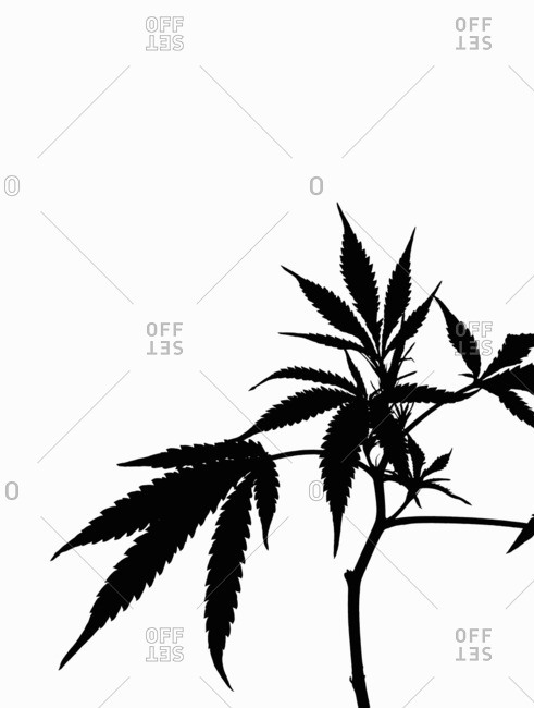 Silhouette of a cannabis plant